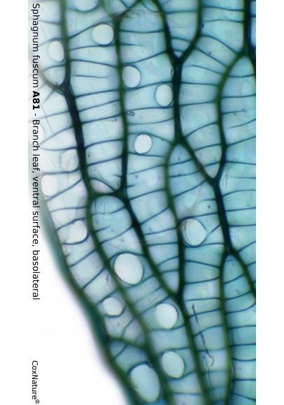 Sphagnum fuscum