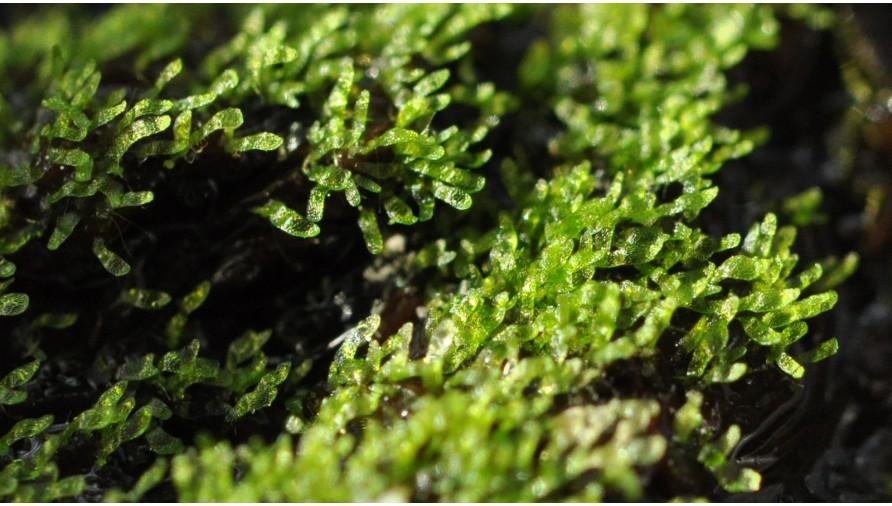Sphagnum Spores Germination