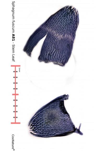 Sphagnum angustifolium