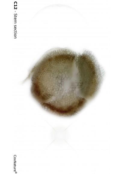 Sphagnum isoviitae