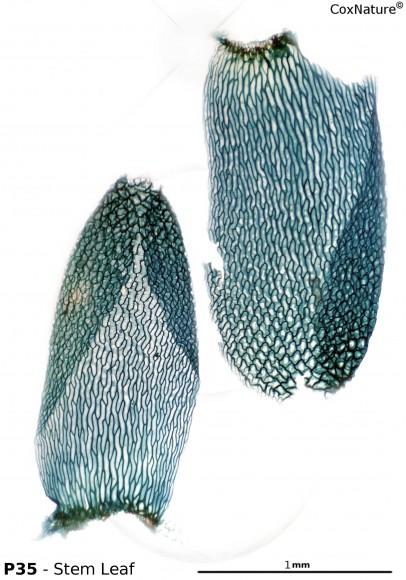 Sphagnum medium