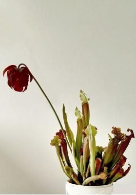 """Sarracenia """"Velvet"""""""