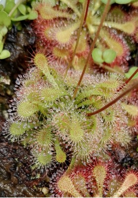 Drosera tokaiensis