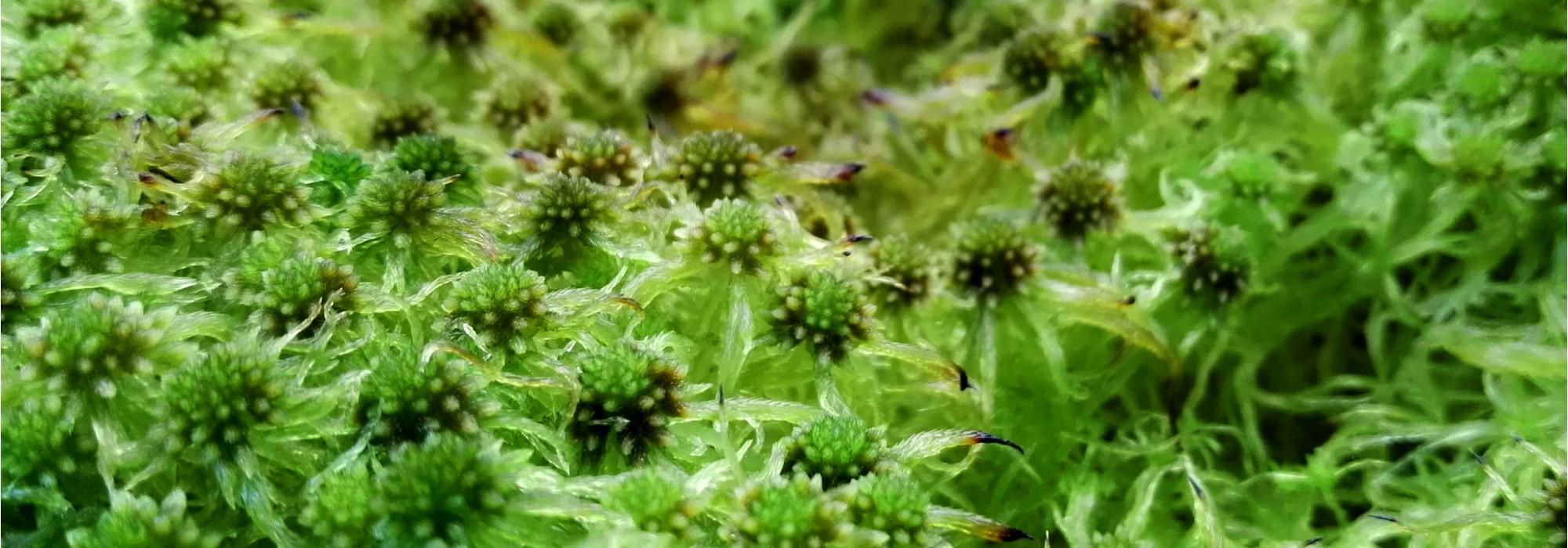 BannerAngustifolium